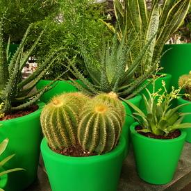 Cactus in groene pot